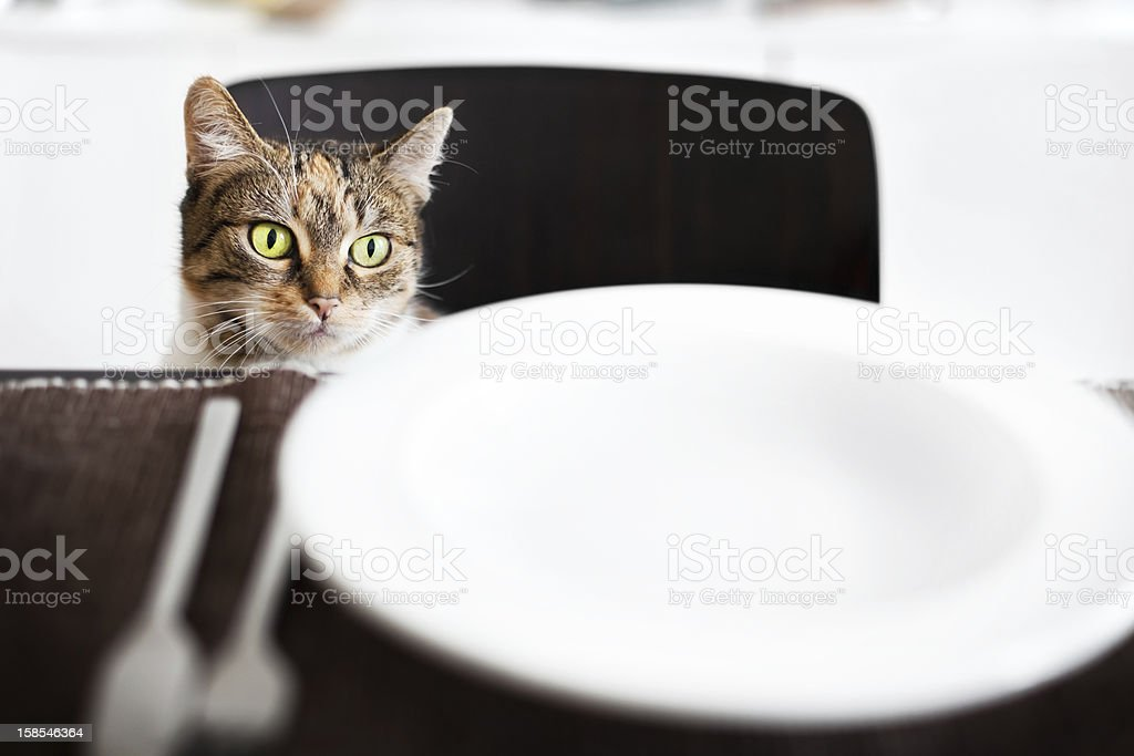 Hungry Cat. stock photo