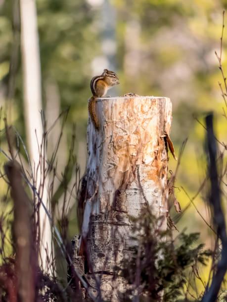 Hungry chipmunk eating birdseed on stump stock photo