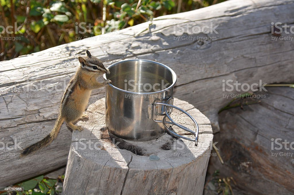 Hungry Chipmunk stock photo
