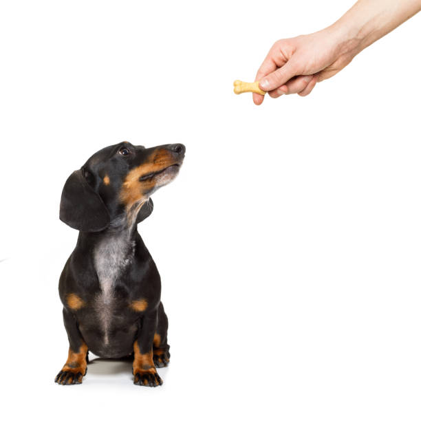 hungry dachshund with treat - alimentar a tu perro fotografías e imágenes de stock