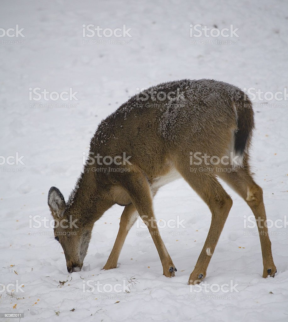 hungry deer royalty-free stock photo