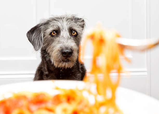 Hungry Dog Begging for Food Drooling stock photo