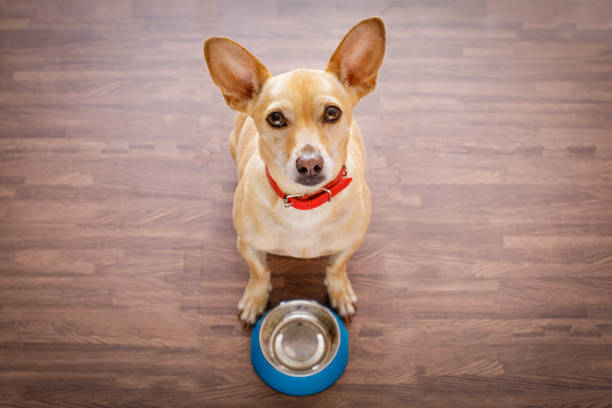 hungry dog with food bowl stock photo