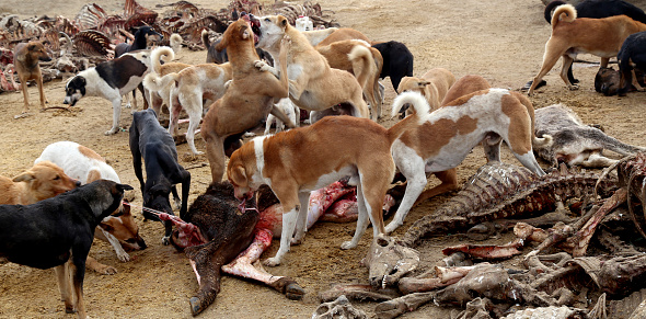 Hungry Dogs eating Dead Animal.