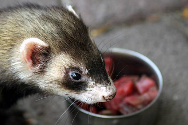 Hungry ferret stock photo
