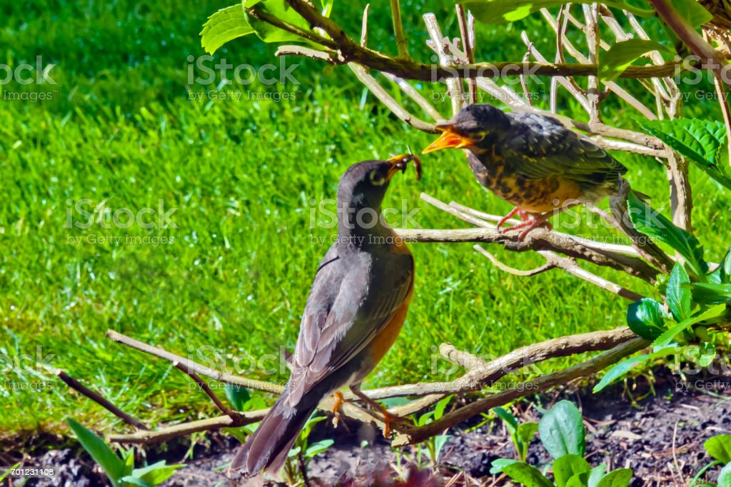 Hungry Fledging stock photo