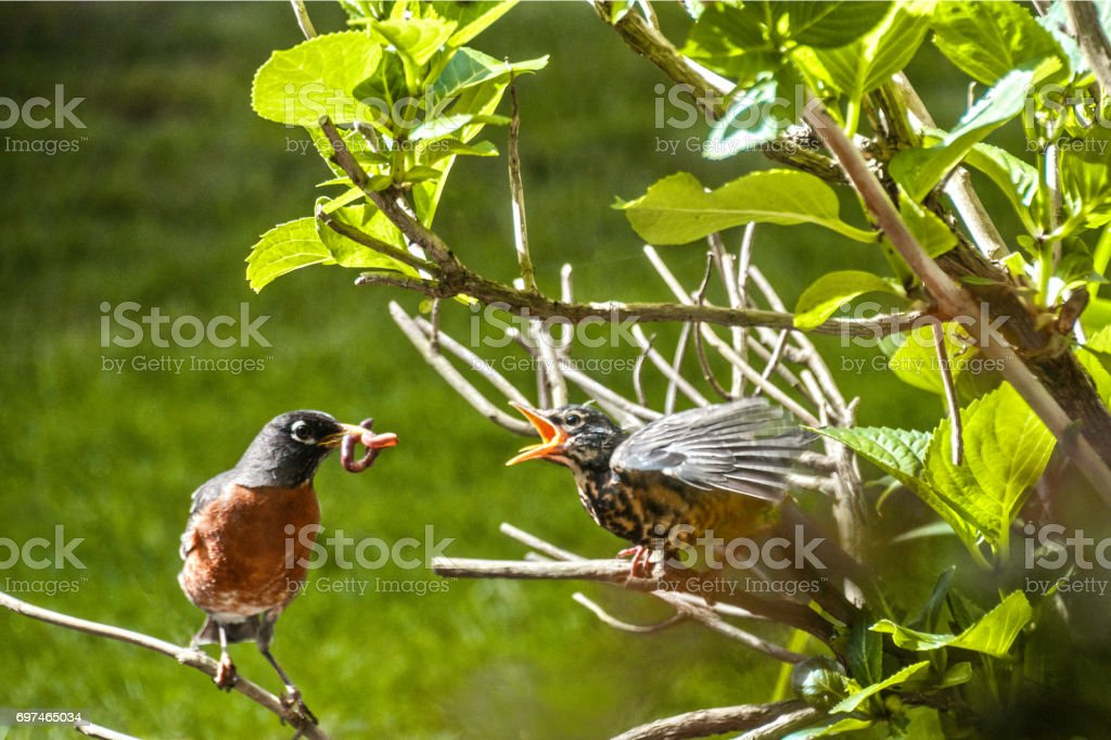 Hungry Fledgling stock photo