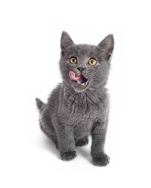 Hungry funny kitty British shorthair cat is thinking of food. licking stock pictures, royalty-free photos & images