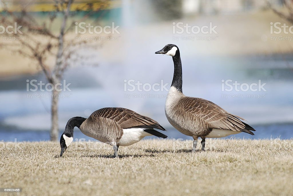 Hungry geese royalty-free stock photo