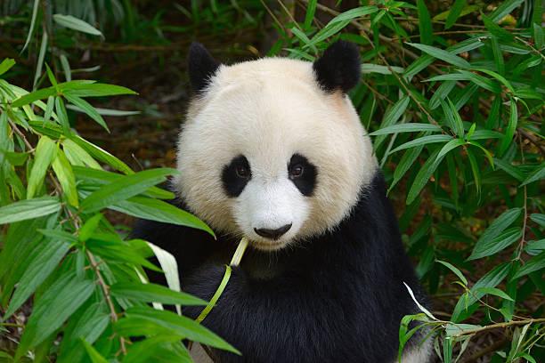 esfomeado panda-gigante urso comer bambu - comportamento animal imagens e fotografias de stock