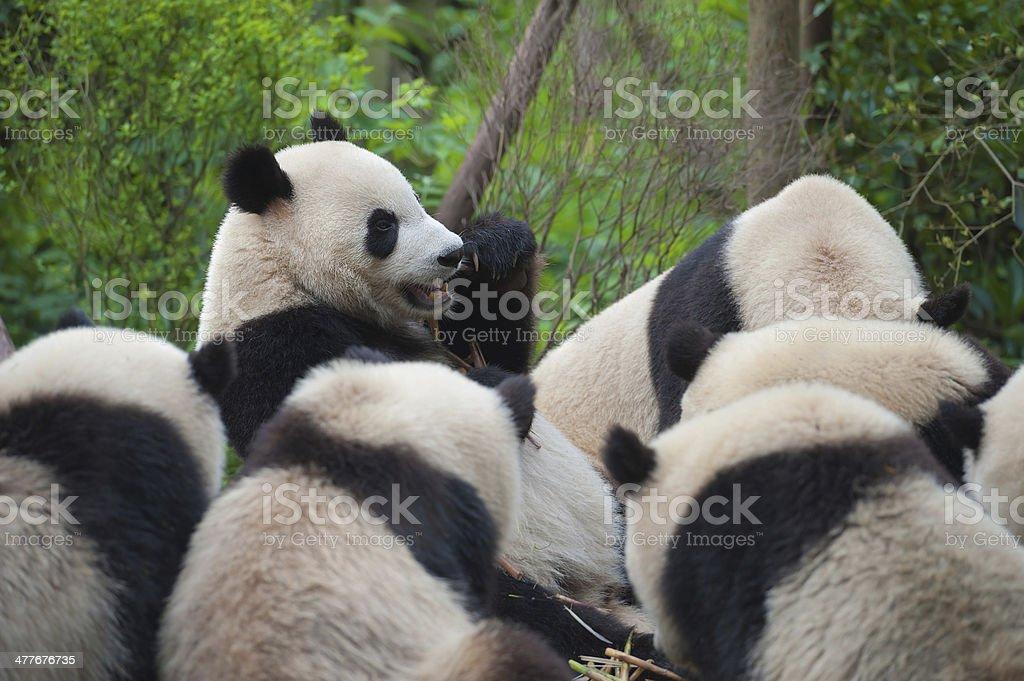 Hungry giant panda bear eating bamboo royalty-free stock photo
