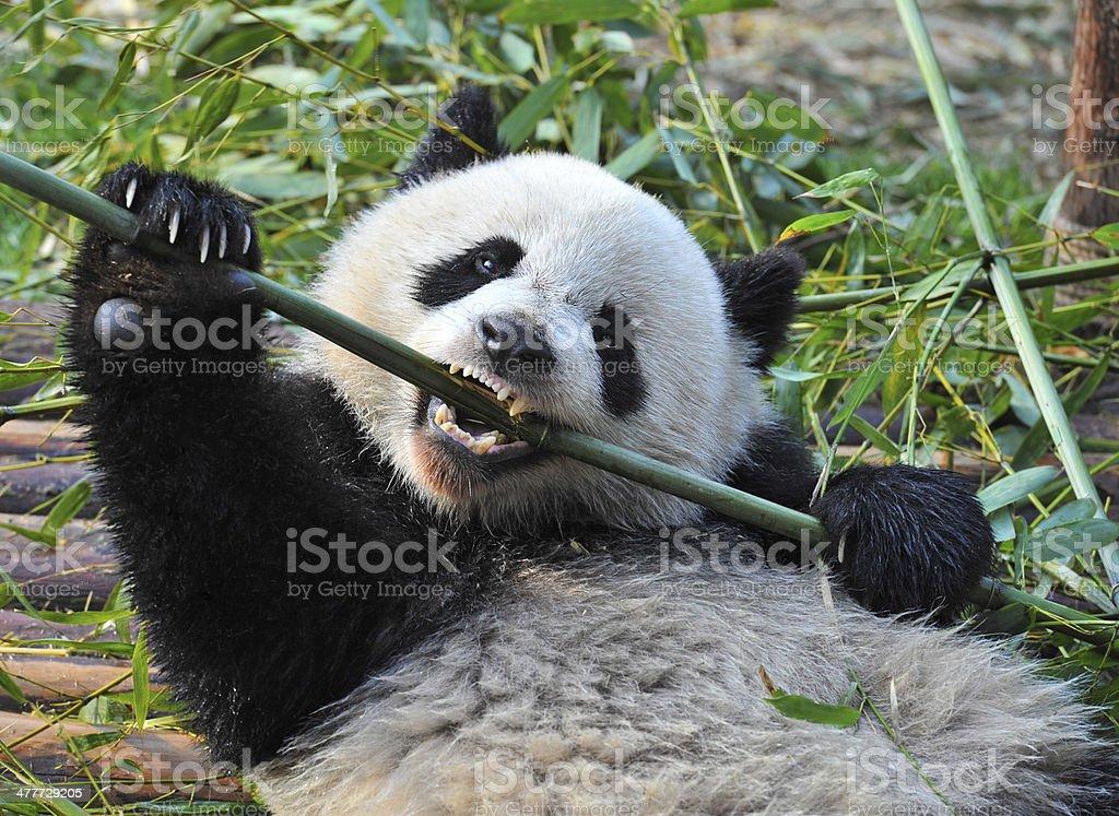 Hungry giant panda bear eating bamboo stock photo