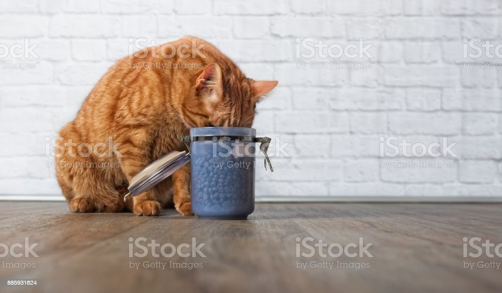 Hungry ginger cat steal food from a food container stock photo