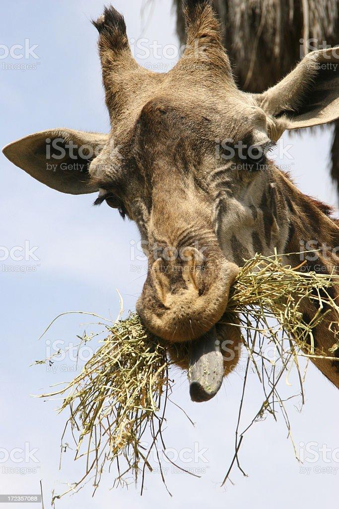 Hungry giraffe royalty-free stock photo
