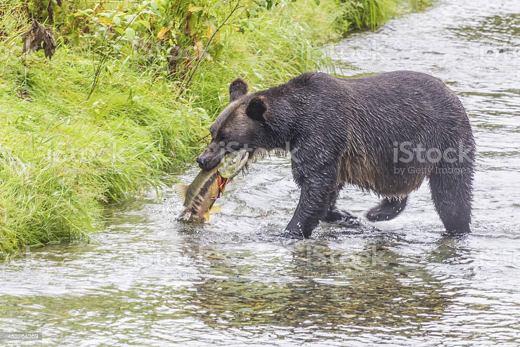 Hungry Grizzly catches large salmon stock photo