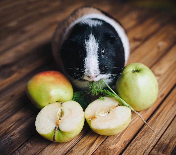 A hungry guinea pig chewing dill. Feeding guinea pigs. Apples on a wooden background. Herbivorous animals. A hungry guinea pig chewing dill. Feeding guinea pigs. Apples on a wooden background. Herbivorous animals. herbivorous stock pictures, royalty-free photos & images