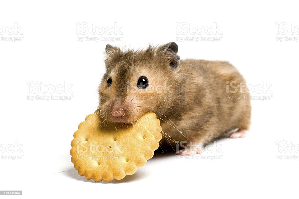 Hungry hamster royalty-free stock photo