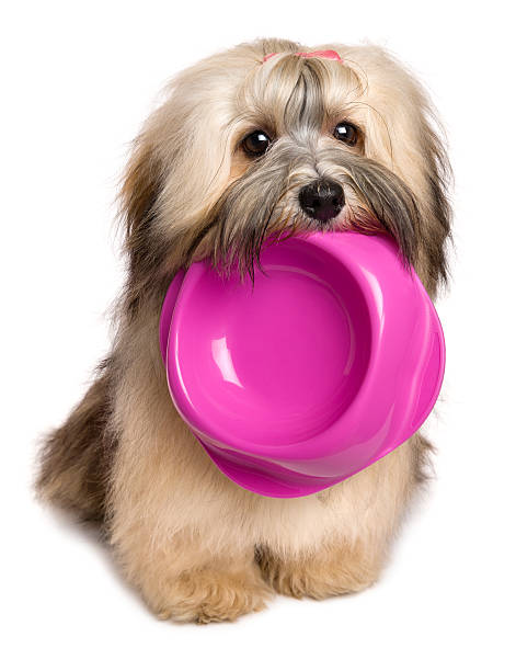 Hungry havanese puppy keep a food bowl in her mouth picture id504454038?b=1&k=6&m=504454038&s=612x612&w=0&h=apbh3kd3na2w9nqyqg9byze8atsllyndbn8ncqdrawg=