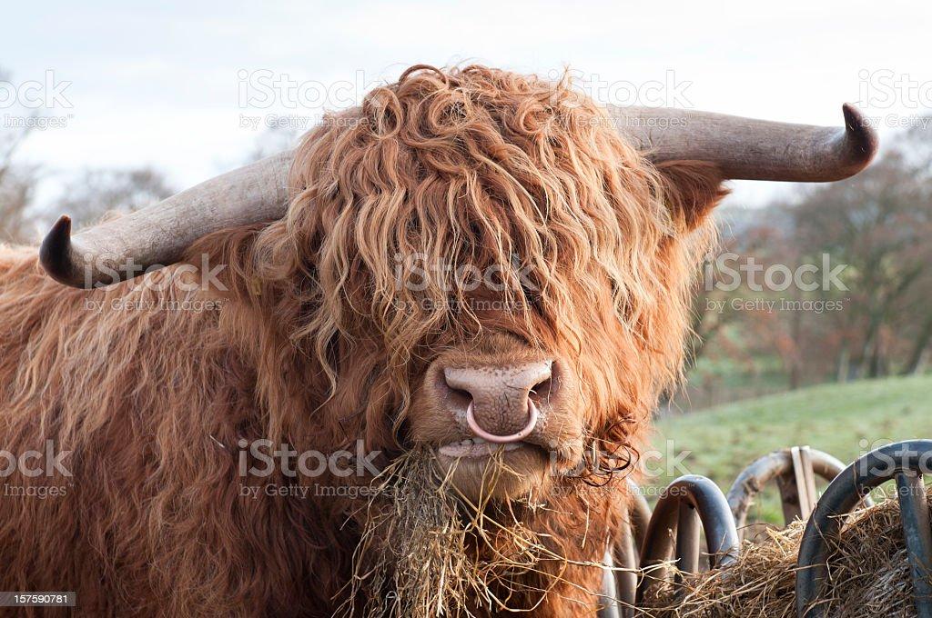 Faim Vache des Highlands - Photo