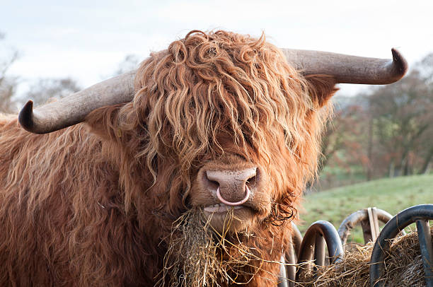 hungry highland cow - nose ring stock pictures, royalty-free photos & images