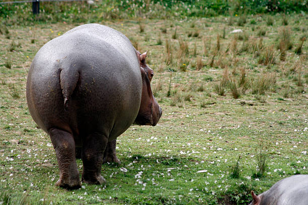 hungry hippo hippopotamus - hippo tail stock photos and pictures