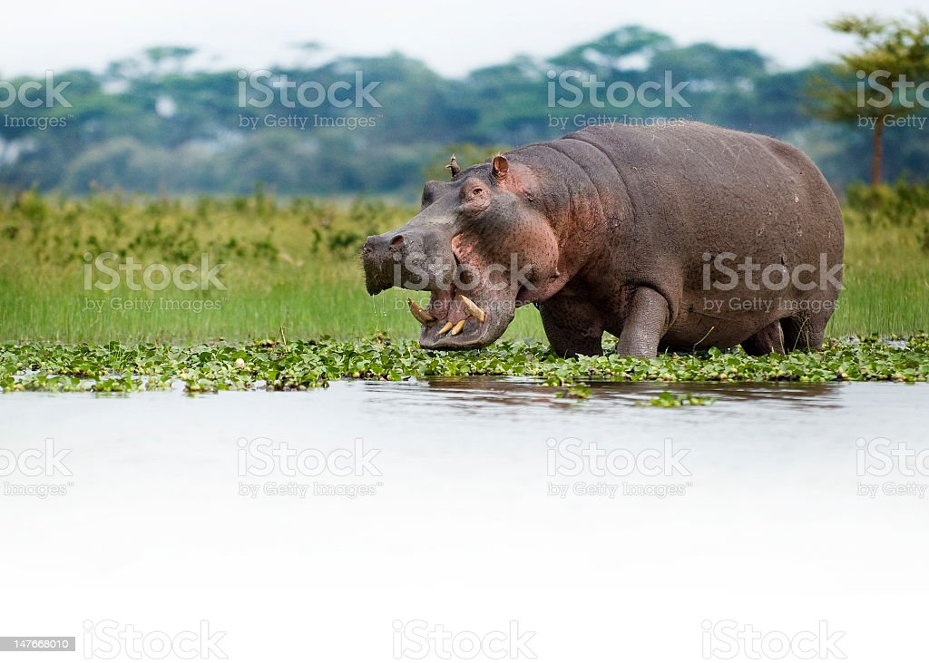 Hungry hippo moving along the river with its mouth open stock photo