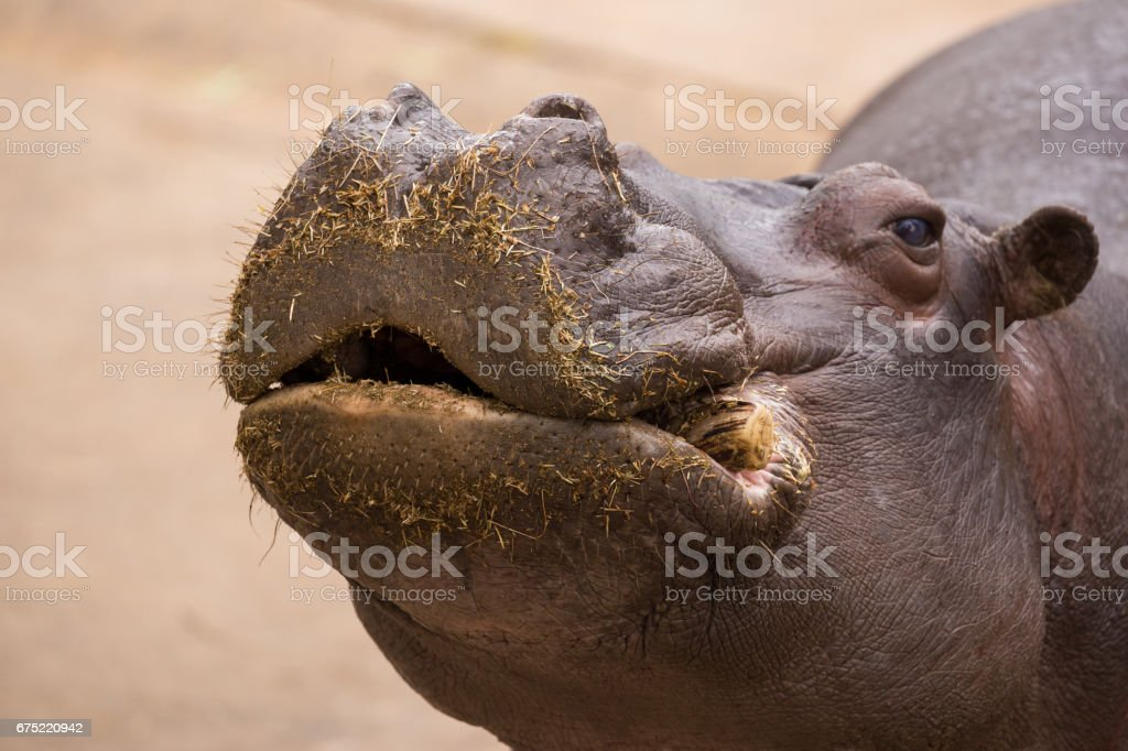 Hungry Hippopotomus presents his mouth for food stock photo
