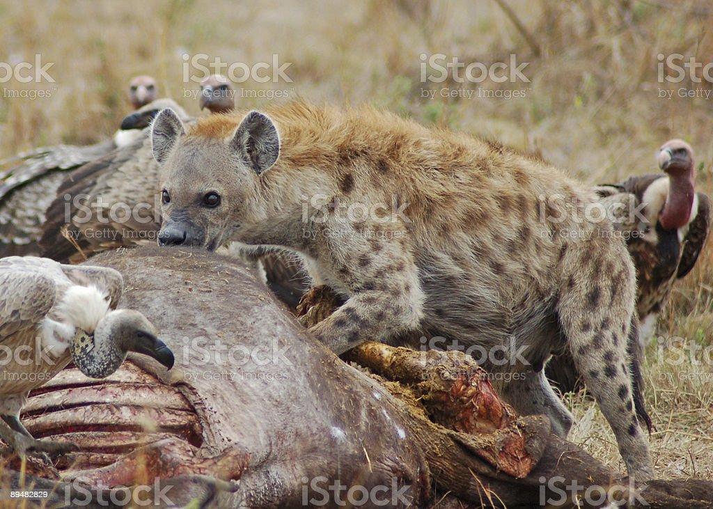 Hungry hyena stock photo