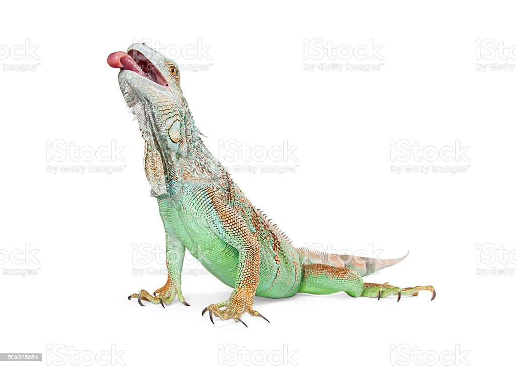 Hungry Iguana Lizard With Tongue Out Stock Photo & More Pictures of ...
