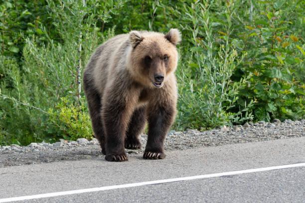 hongerige kamtsjatka bruine beer (ursus arctos pisa) staande op de weg van asfalt weg - siberië stockfoto's en -beelden