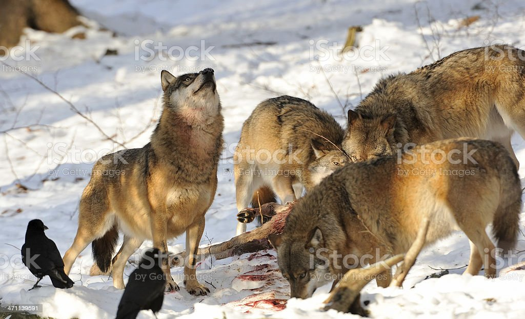 hungry like a wolf stock photo