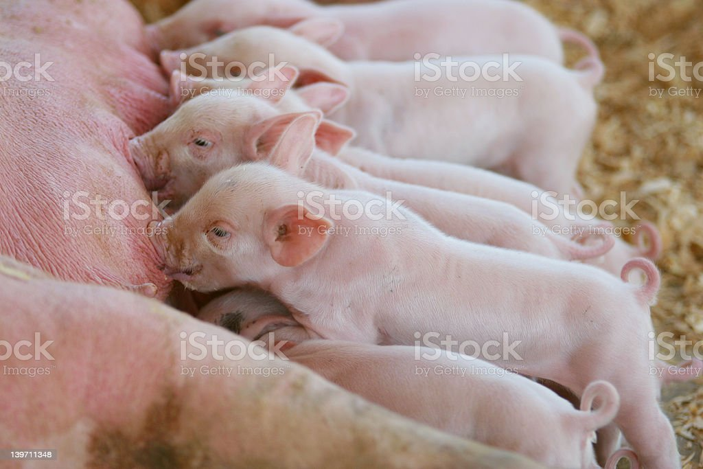 Hungry little pigs stock photo