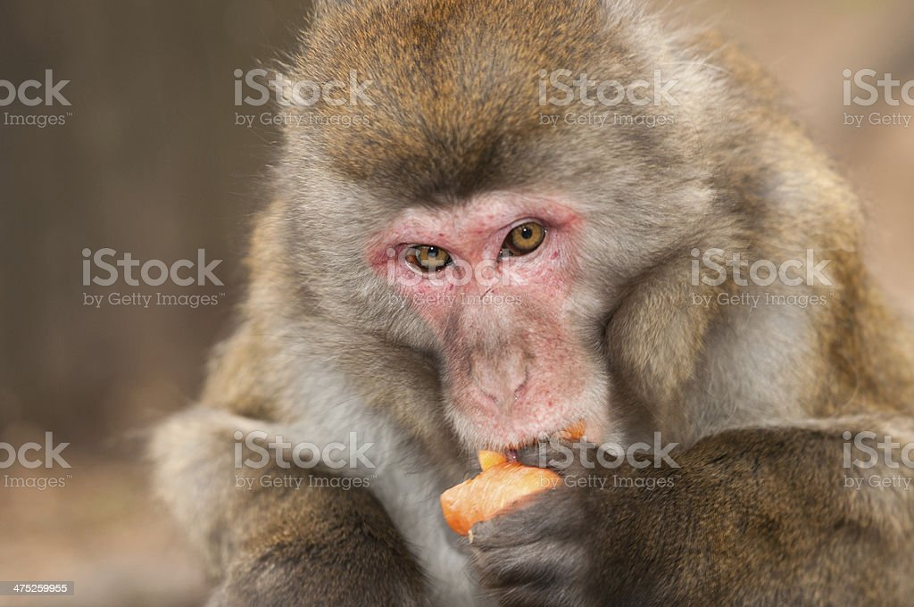 hungry macaque monkey eating a carrot stock photo