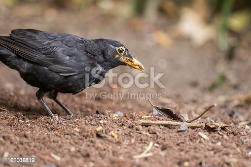Hungry male blackbird (Turdus merula) close-up. Garden bird foraging for worm and insect food in turned soil. Common rural and urban wildlife nature image.