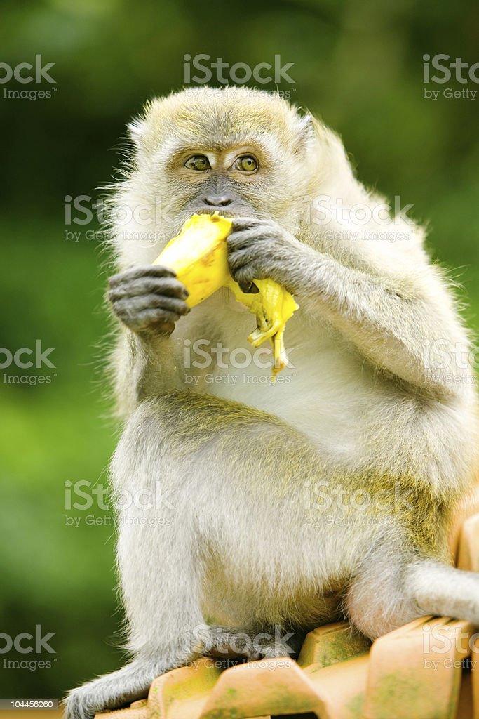 Hungry monkey royalty-free stock photo