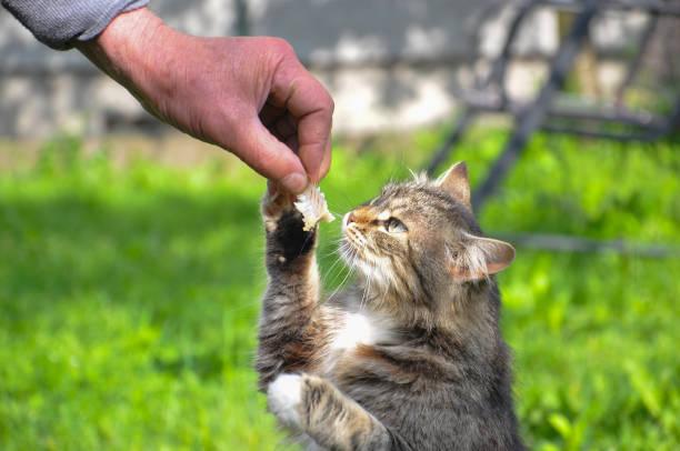 Hungry norwegian cat eats fishs bones picture id692788244?b=1&k=6&m=692788244&s=612x612&w=0&h=xqkeqq5gx8lbdzhrq ota8r2xzghdjz1joruhik24jg=