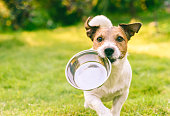 Jack Russell Terrier dog carrying in mouth metal plate