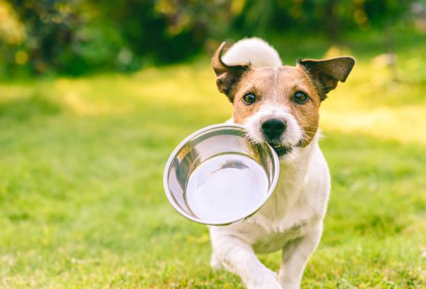głodny lub spragniony pies pobiera metalową miskę, aby uzyskać paszę lub wodę - dog zdjęcia i obrazy z banku zdjęć
