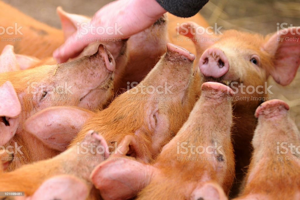 Hungry Piglets royalty-free stock photo