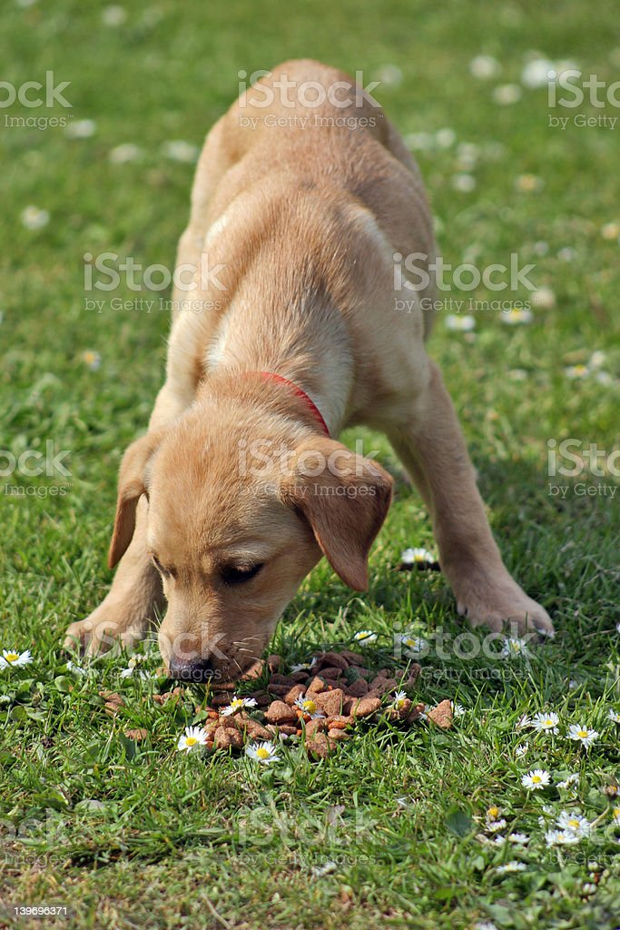 hungry puppy royalty-free stock photo