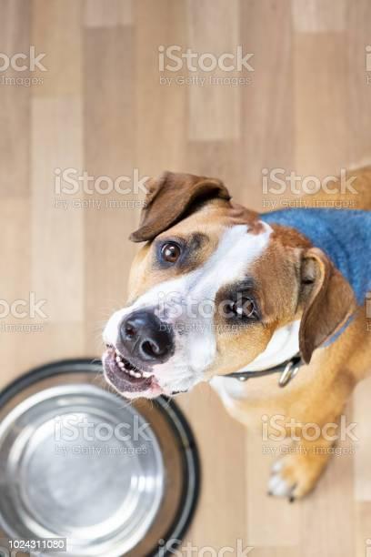 Hungry puppy sits on the floor near empty food bowl and asks for food picture id1024311080?b=1&k=6&m=1024311080&s=612x612&h=k2kwsobgqe 4kd668wyt 75ptyumx5hrcjxszqe m g=
