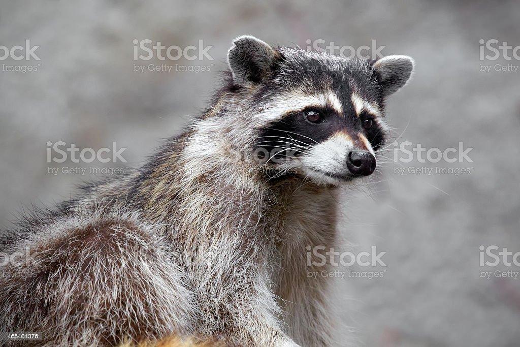 Hungry raccoon stock photo