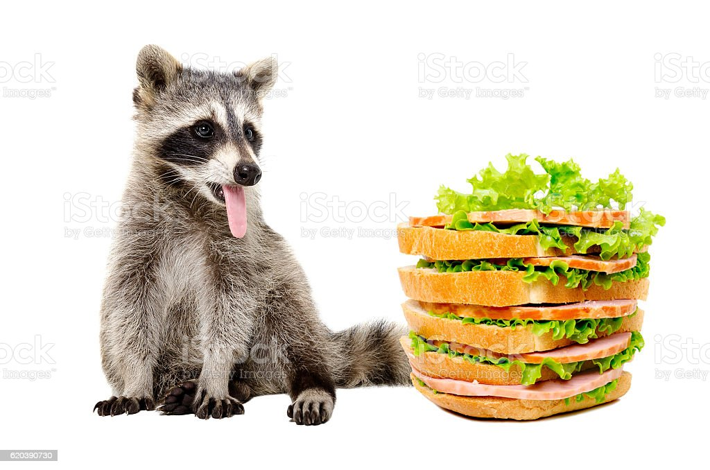 Hungry raccoon wants to eat a sandwich stock photo