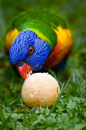 Australian native rainbow lorikeet eating some bread on the ground