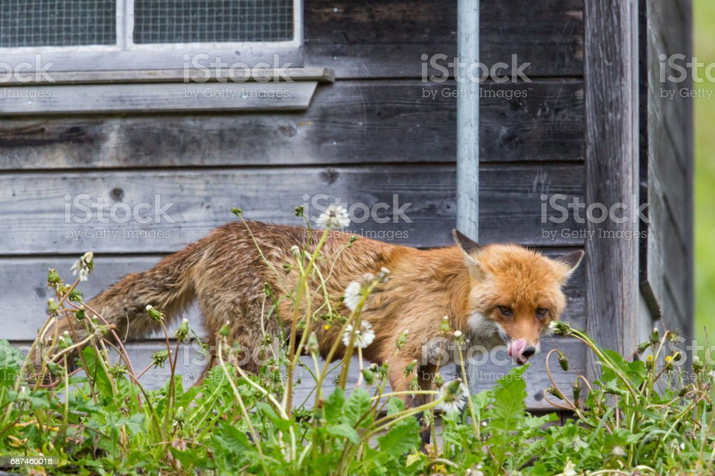 hungry red fox (vulpes vulpes) standing before henhouse - foto de acervo