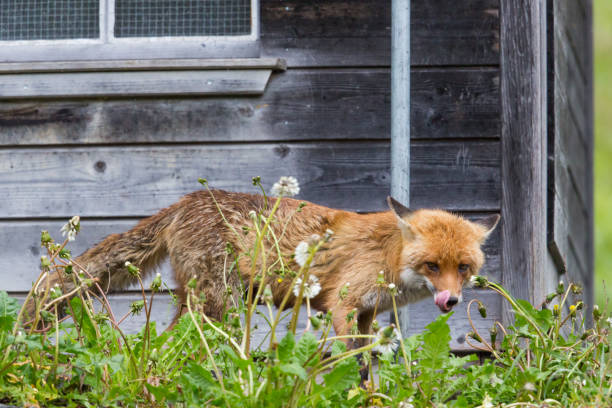 hungry red fox (vulpes vulpes) standing before henhouse - volpe foto e immagini stock