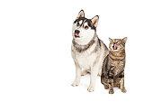 istock Hungry Siberian Husky and Tabby Cat Looking Up 475328414