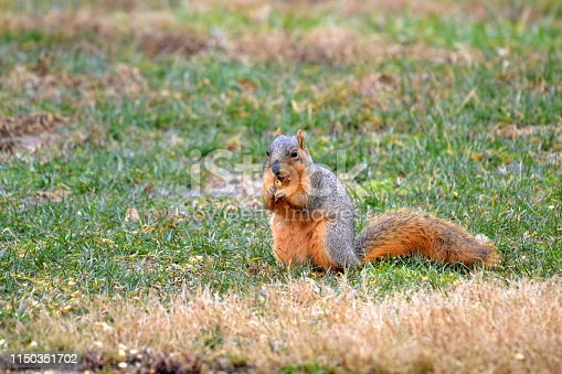 Red Fox Squirrel eating corn from feeder.
