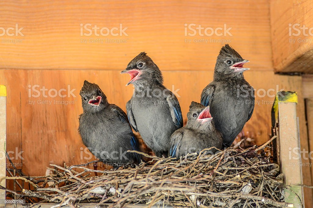 Hungry stellar jay chicks stock photo