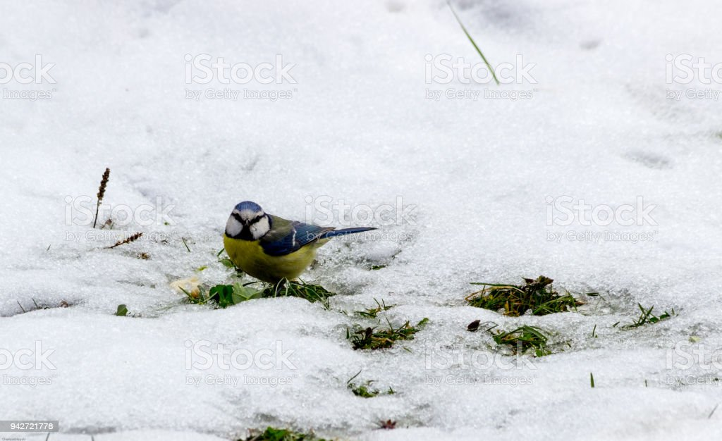 Hungry  titmouse (Paries) bird found in the melting snow bread crumbs and pecking to feed up, Apriltsi, Bulgaria, March 2018 stock photo